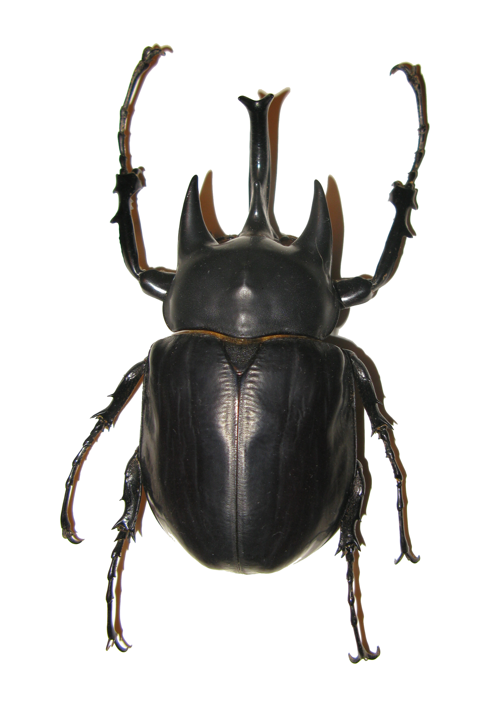 largest insect in history