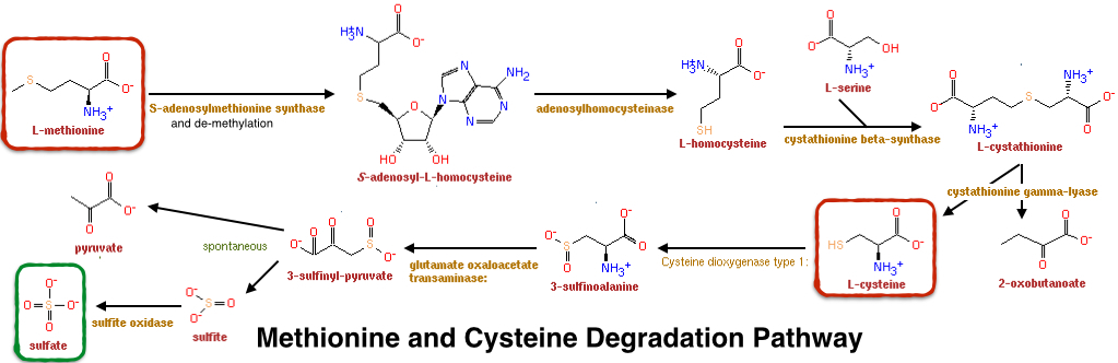 Methionine and Cystine Degradation Pathway
