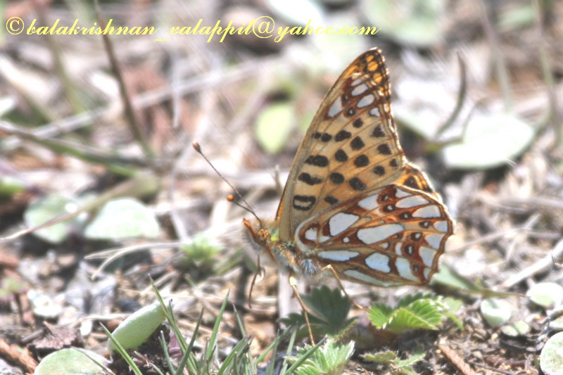 File:NE Ny Queen of spain fritillery Tawang 23 April 2008 (2527092642).jpg