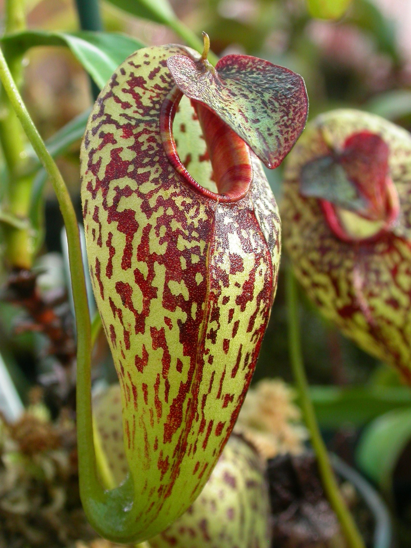 File:Nepenthes aristolochioides.jpg - Wikimedia Commons