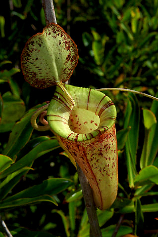 Nepenthes hookeriana upper