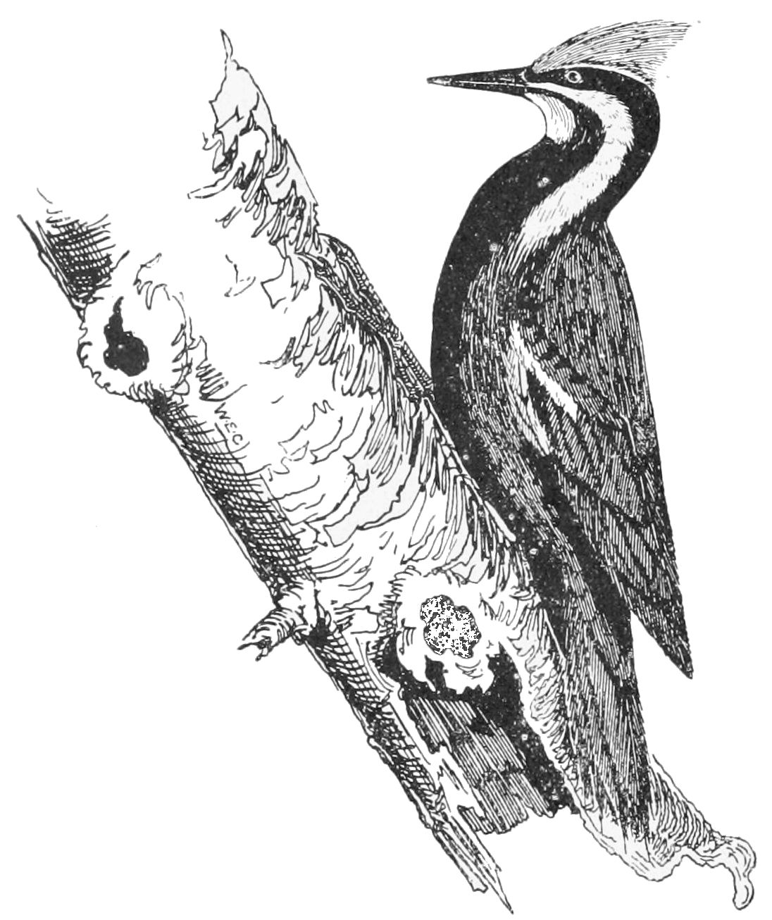 PSM V53 D362 Plieated woodpecker.jpg