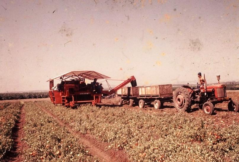 גן-שמואל-קטיף עגבניות בשדה 1990-9