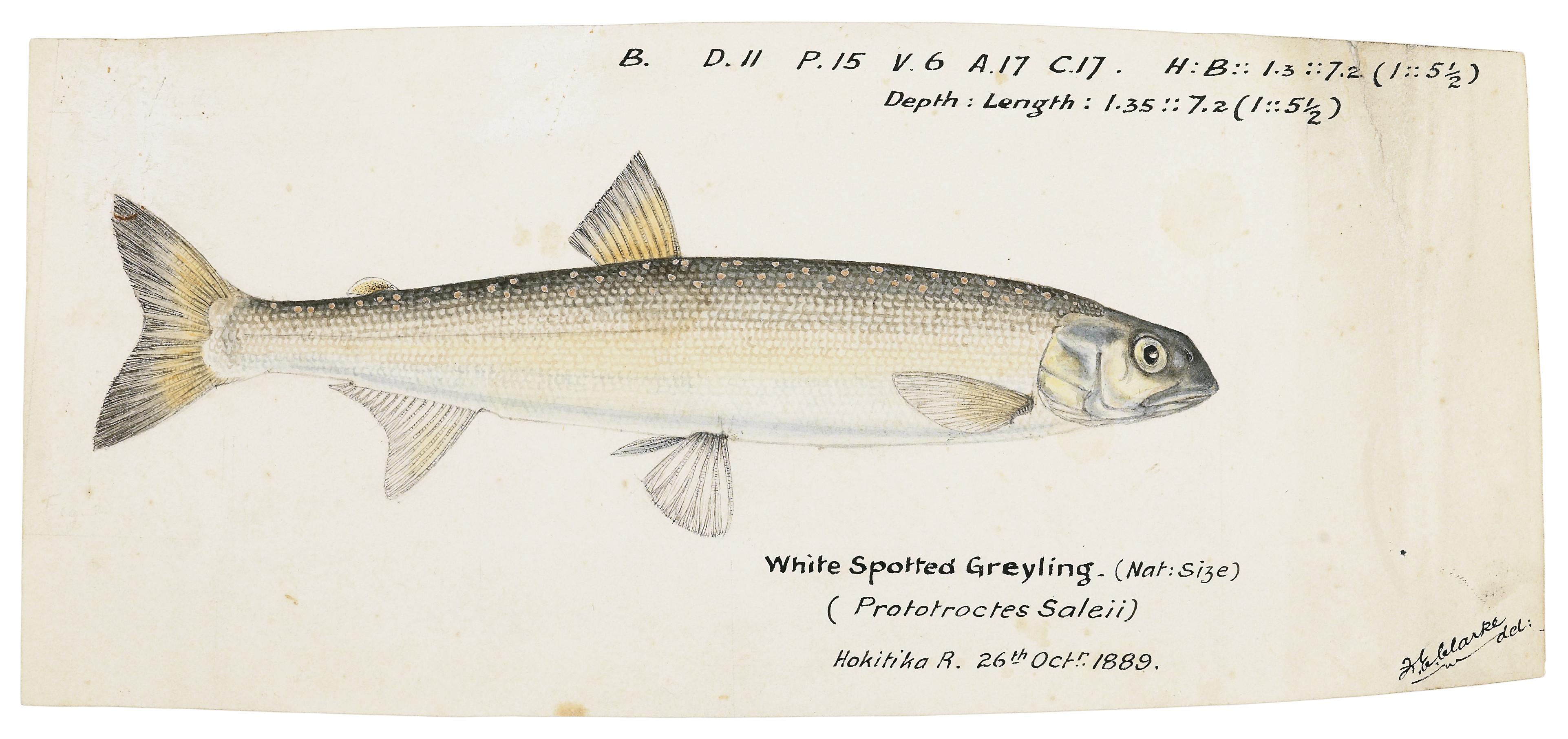 Prototroctes oxyrhynchus.jpg