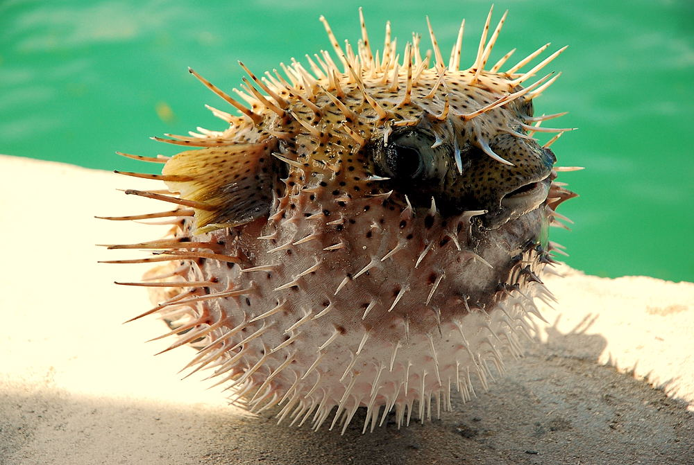 File puffed up wikimedia commons for Puffer fish puffing