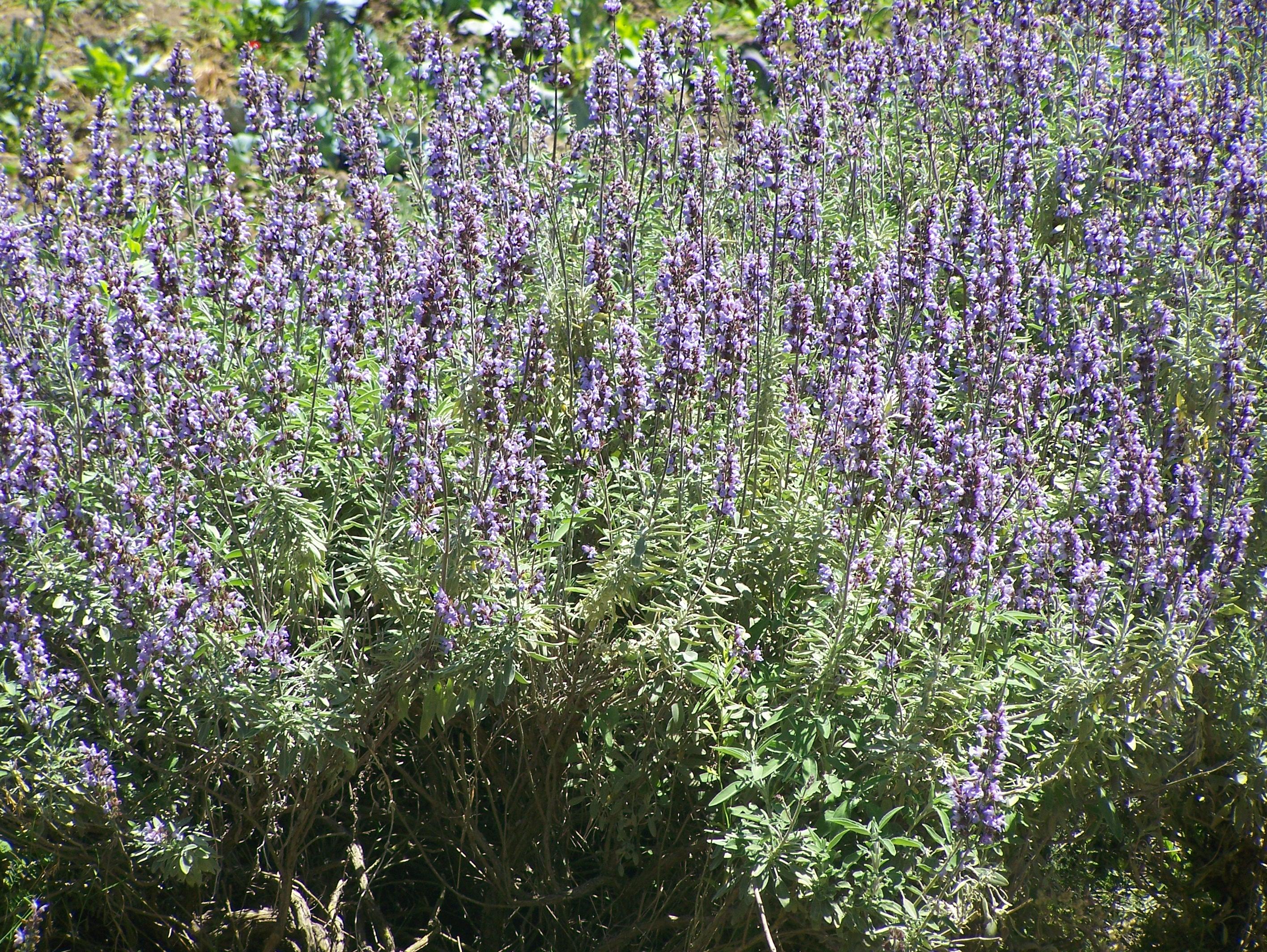 File Purple bush Wikimedia mons