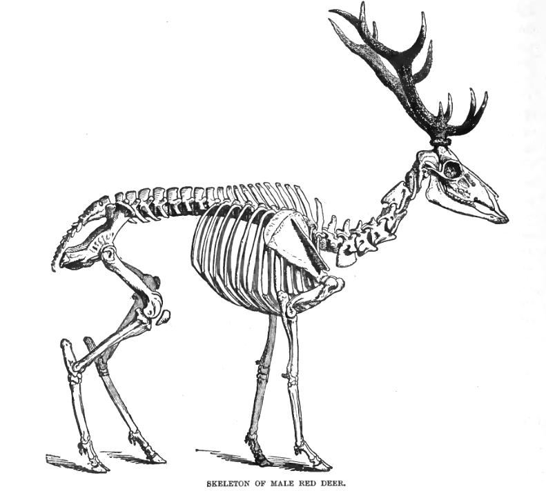 Skeletons, Deer and Deer drawing on Pinterest