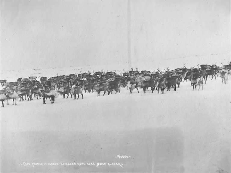 Reindeer herd near Cape Prince of Wales, Alaska, 1903-1907 (AL+CA 4320)