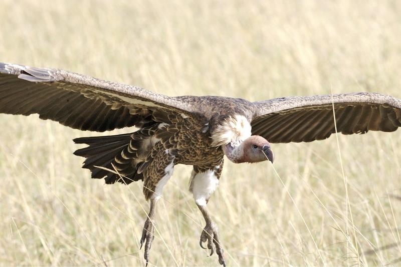 File:Ruppell's griffon vulture - Rueppell's Griffon (Gyps rueppellii) - Flickr - Lip Kee.jpg