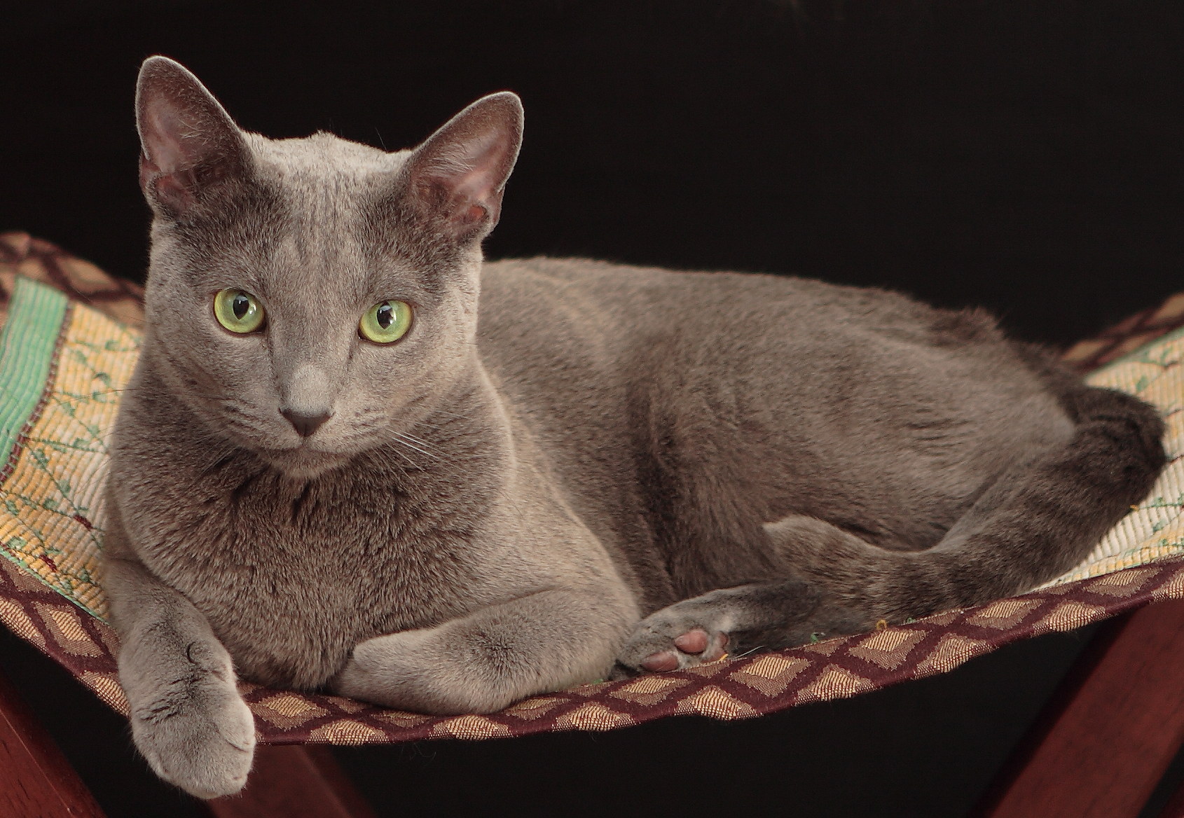 RUSSIAN BLUE Russian Blue cat is one of the most beautiful and elegant breeds in the feline world No one can resist the charm of emerald eyes set in silver