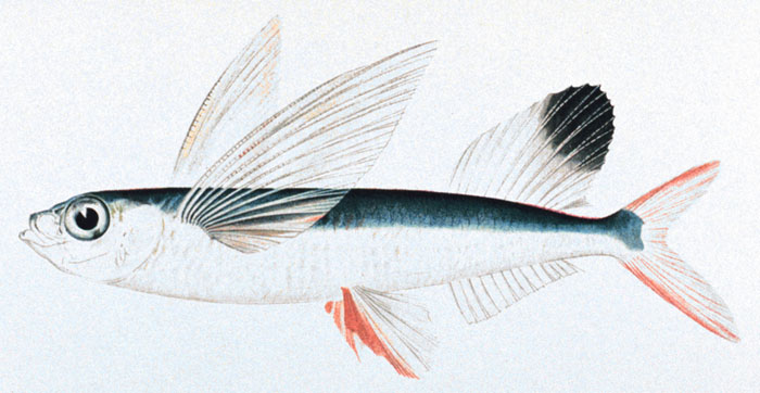 flying fish wikipedia