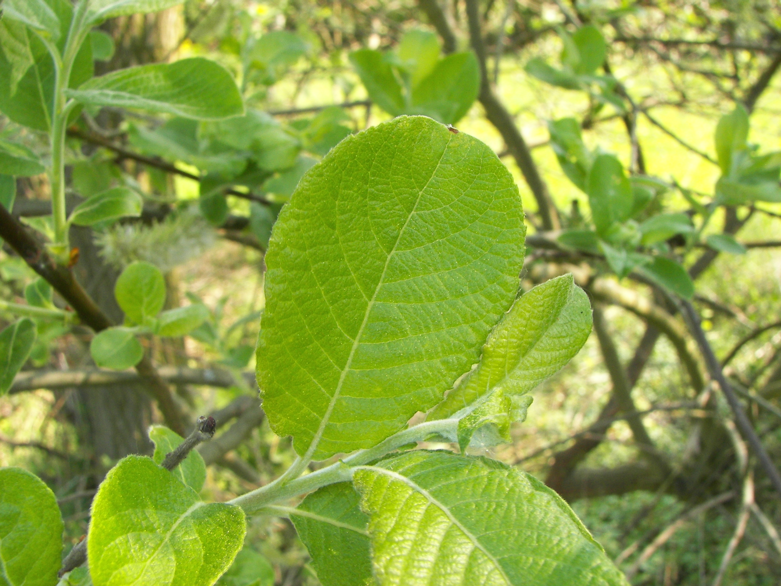 File:Salix caprea 026.jpg