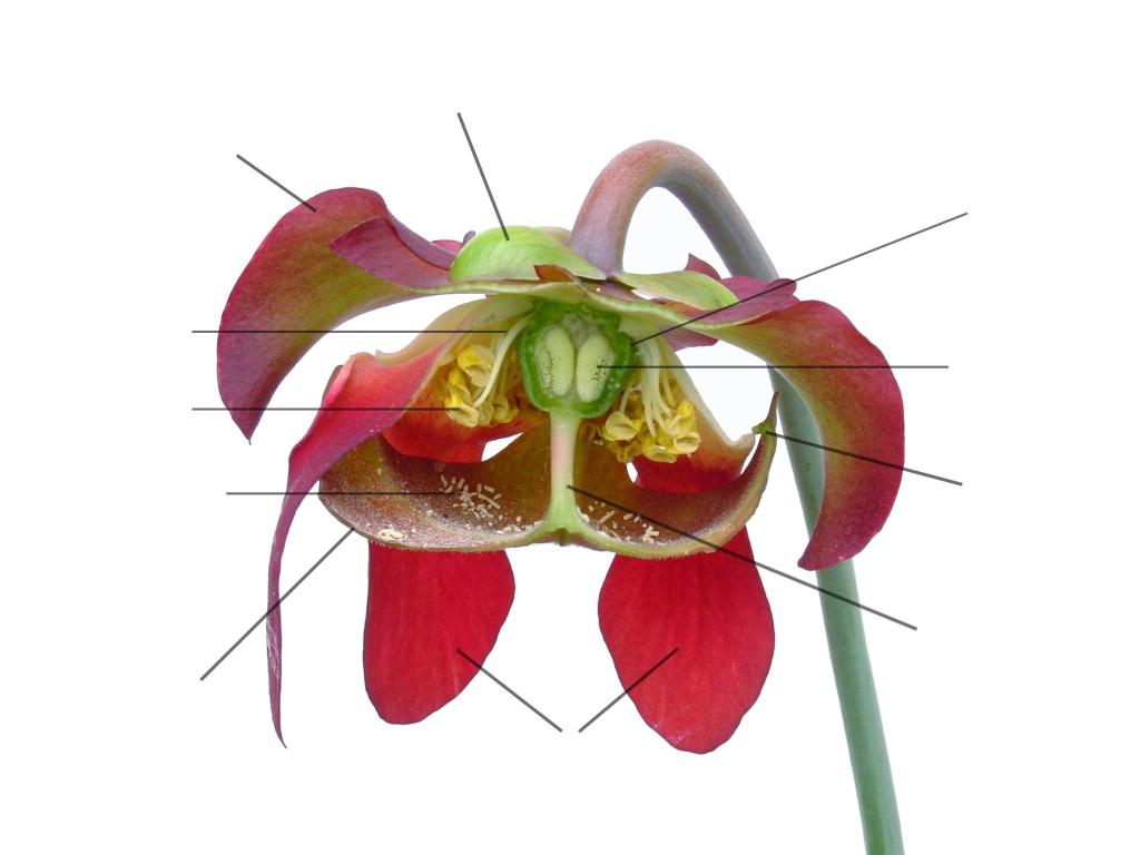 サラセニア花画像@WIKIMEDIA