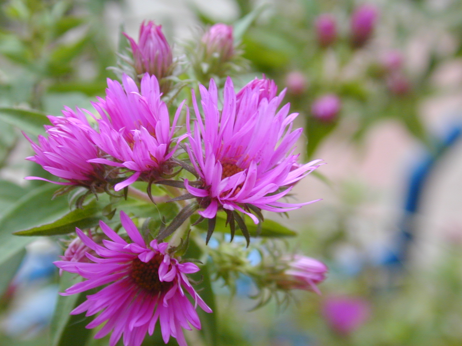 Image gallery september aster Flowers that bloom in september