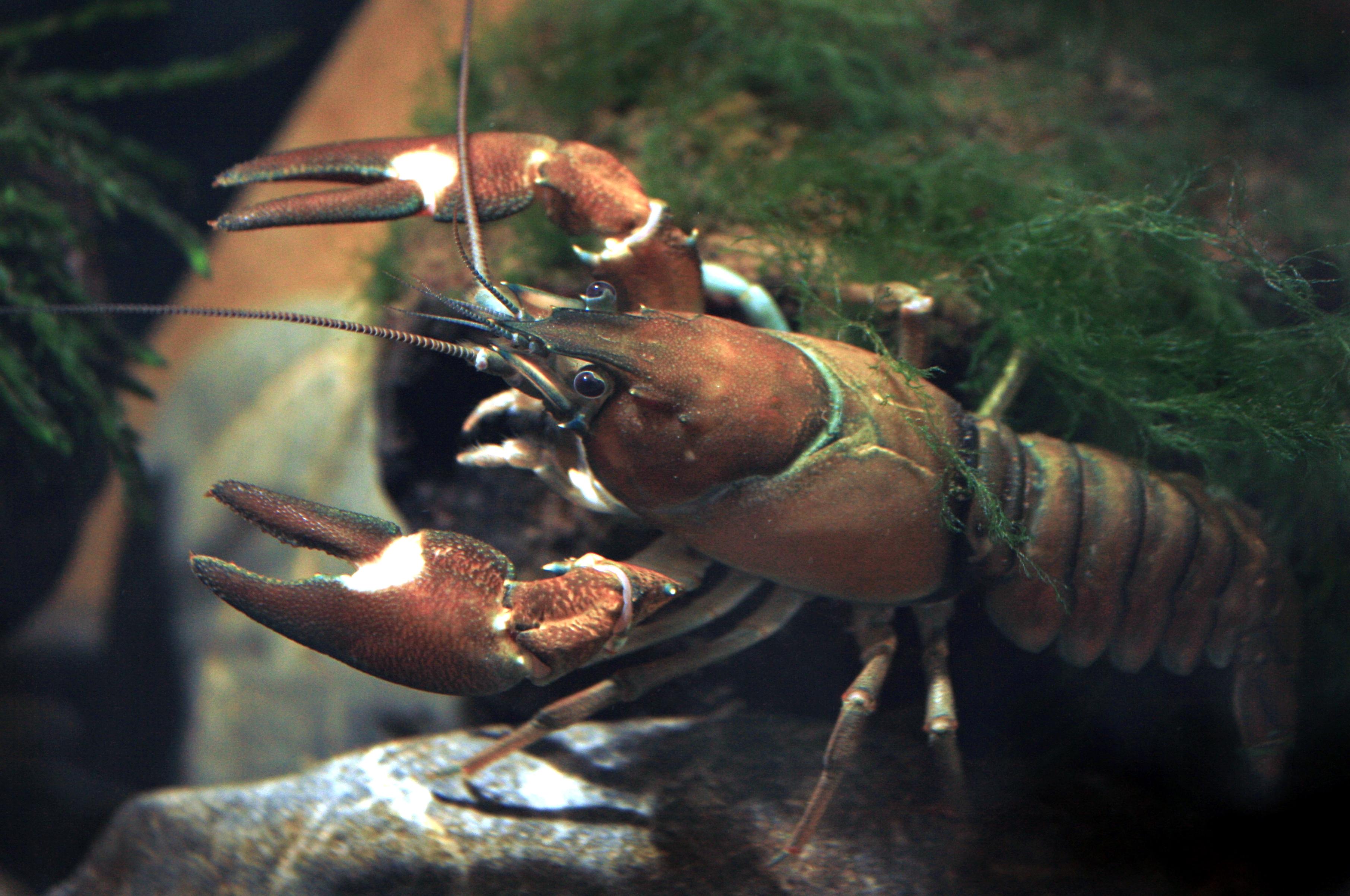 Signal crayfish female Pacifastacus leniusculus.JPG