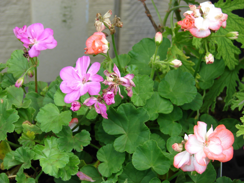 pelargonium hortorum allure