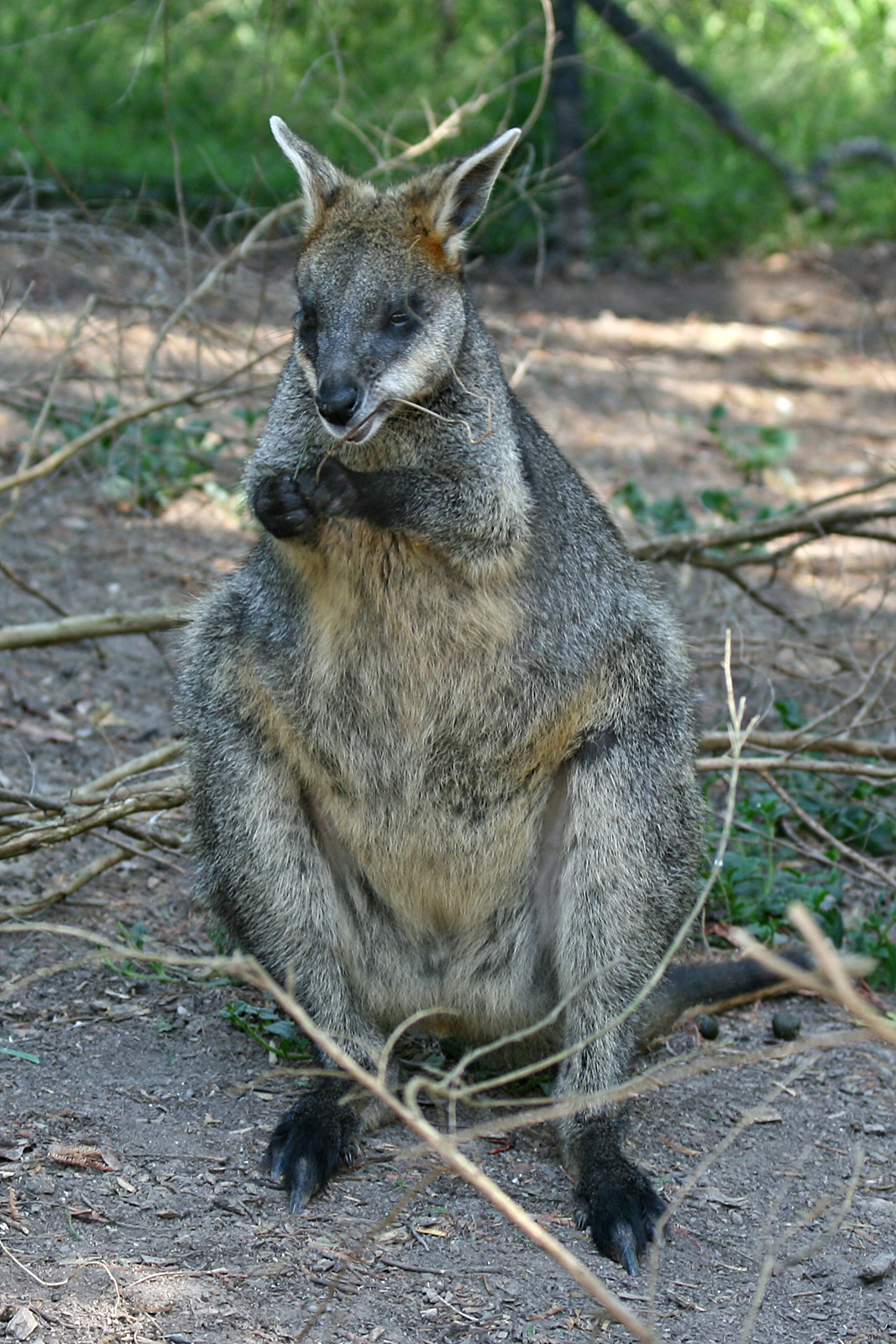 Swamp wallaby wikipedia ccuart Images
