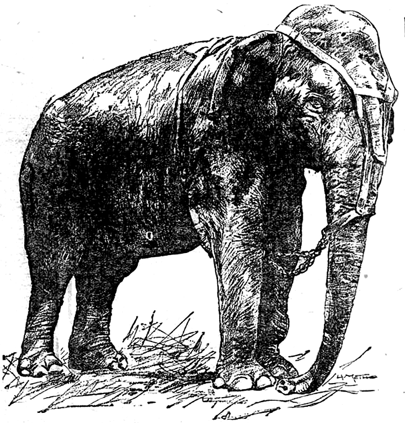 Elephant Front View Png : Cyclotis), and the asian elephant (elephas maximus).