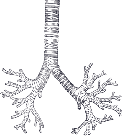 diagram view with File Trachea  Transparent on Index684 moreover Nervous System Anatomy in addition 478305882 together with 53763 as well Resistance Weld.