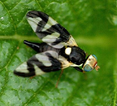 Fichier:Urophora.cardui.female.jpg