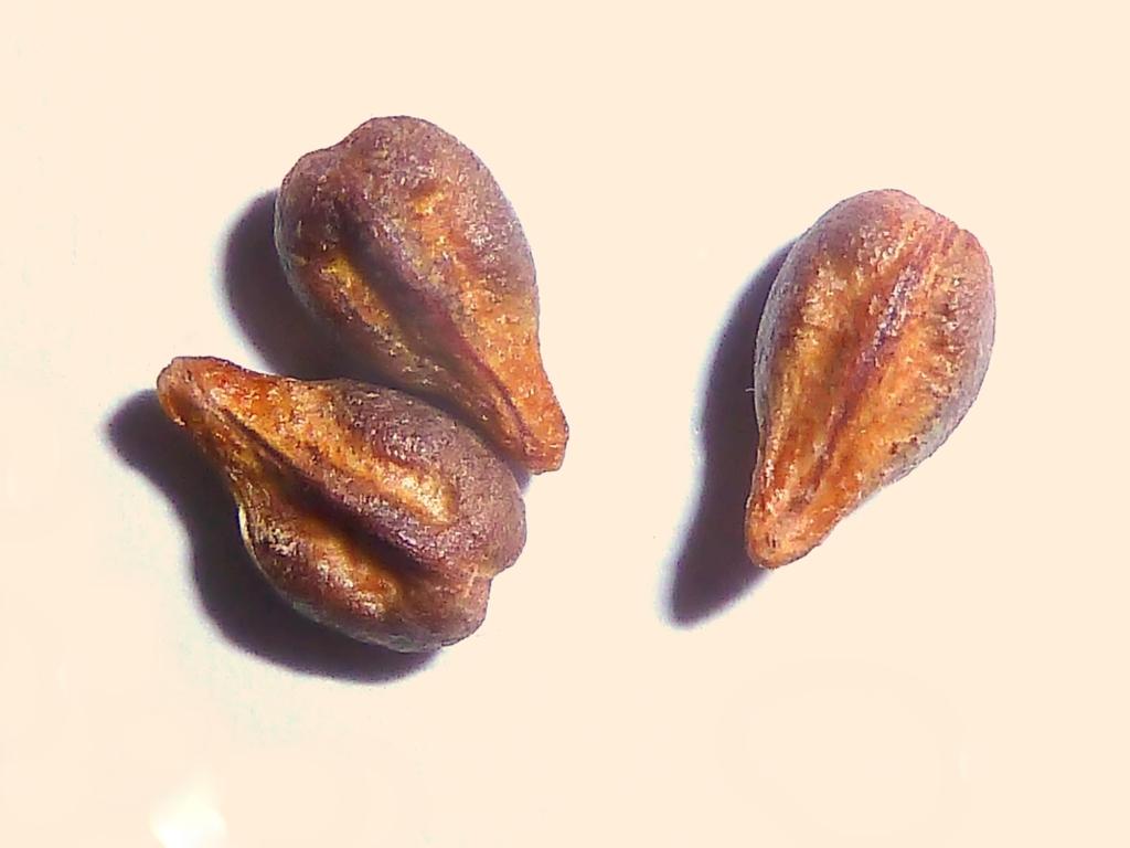 V. vit.-seeds-1.jpg