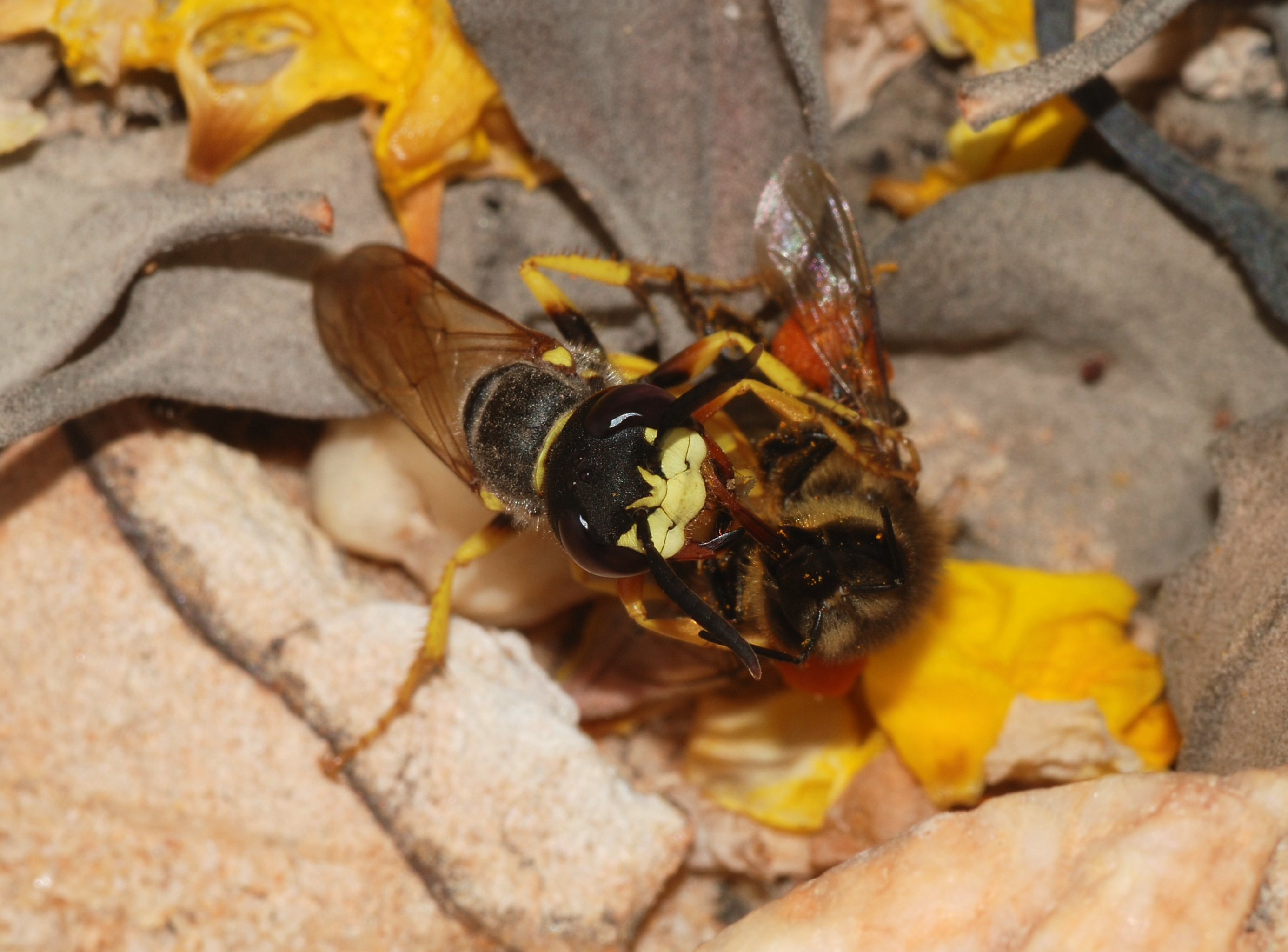 The beewolf Philanthus triangulum paralysing a bee with its sting