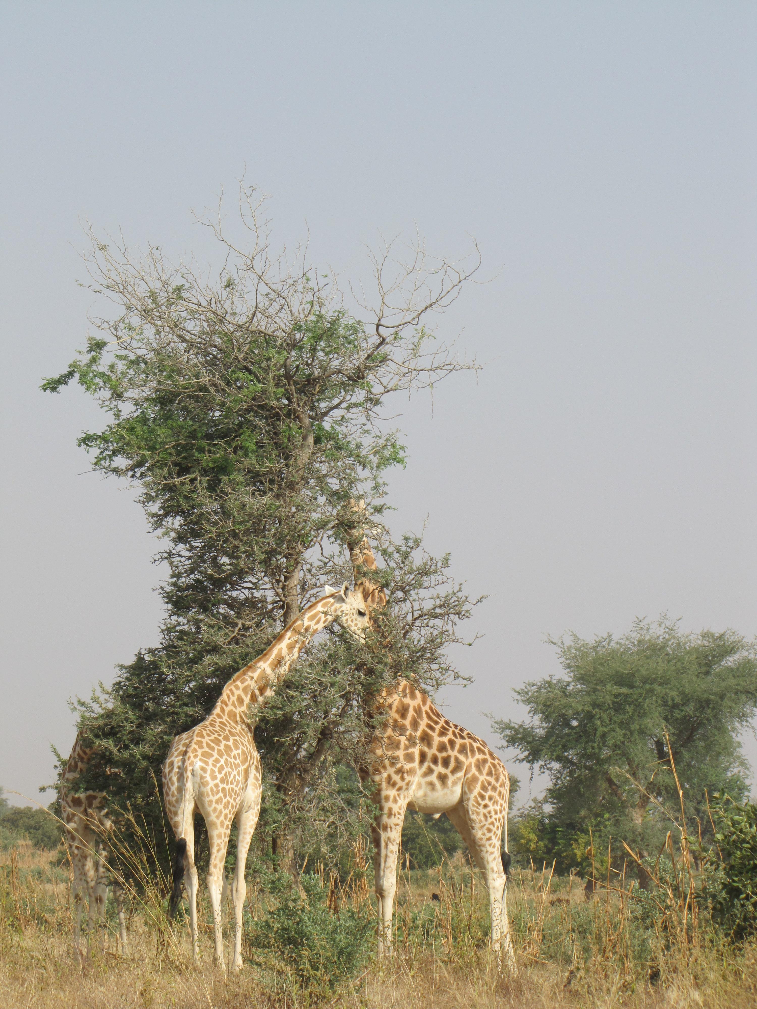 FileWest African Giraffes Near Koure