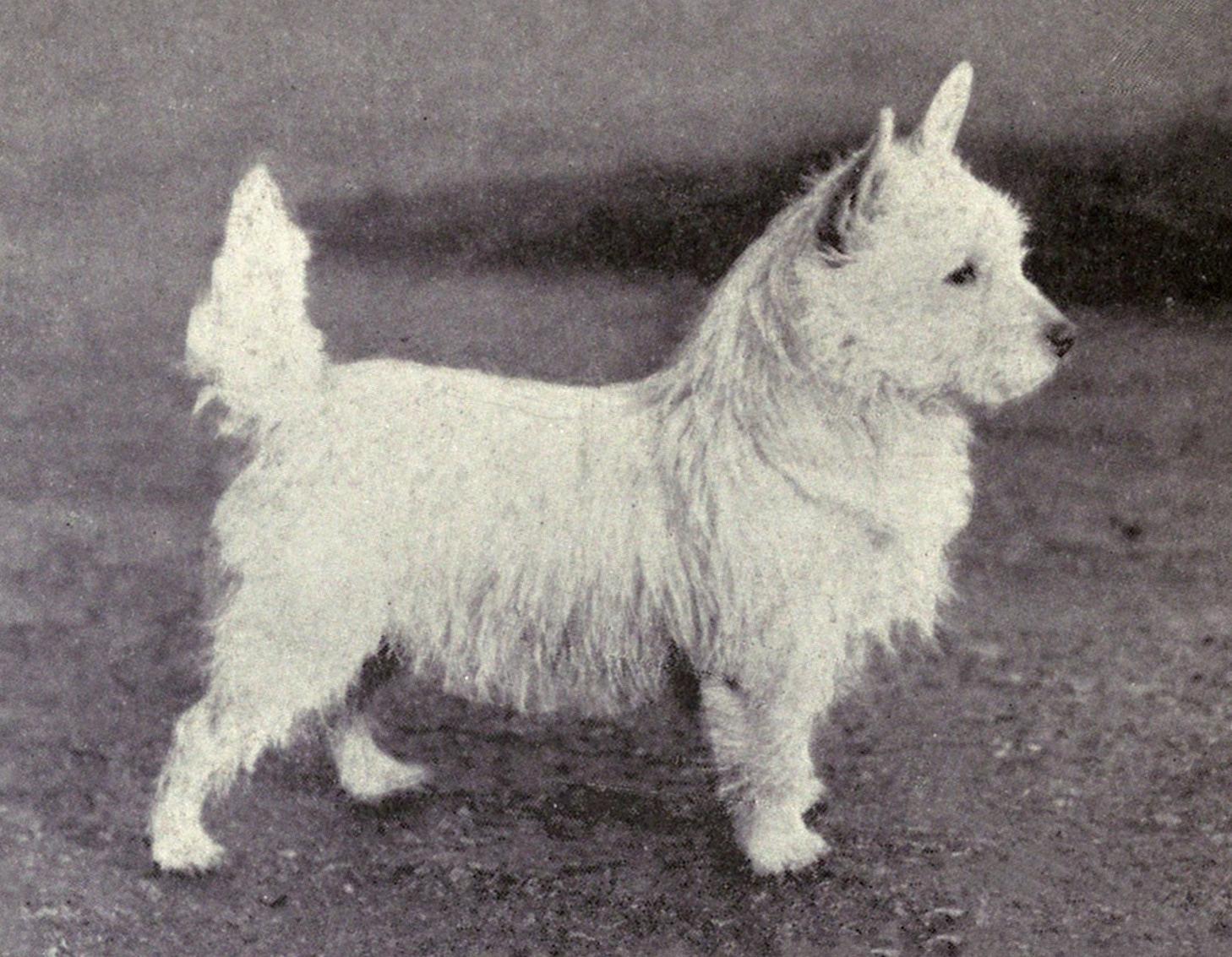 ファイル west highland white terrier from 1915 jpg wikipedia
