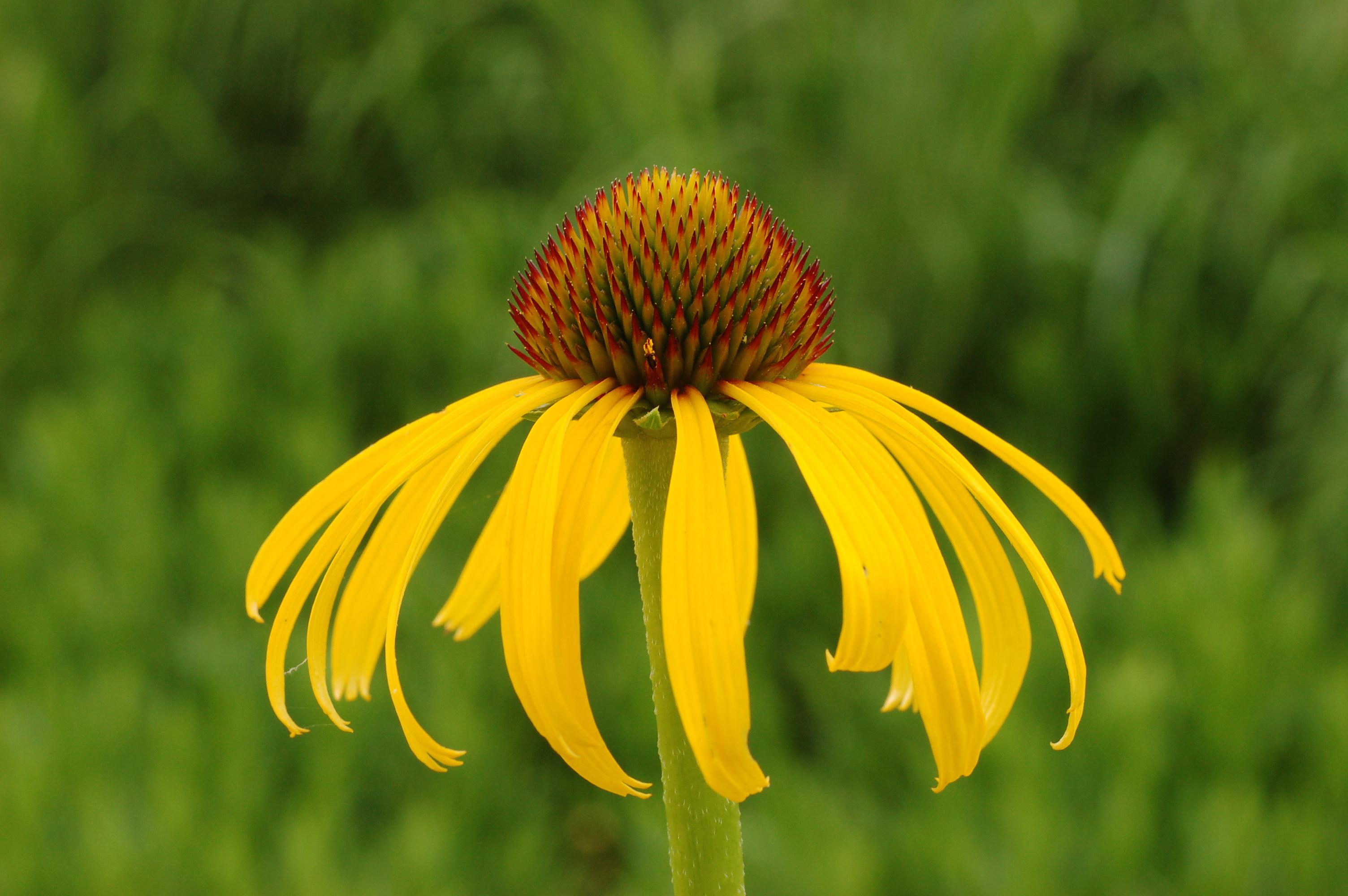 Fileyellow Coneflower Echinacea Paradoxa Horizontal 3008pxg