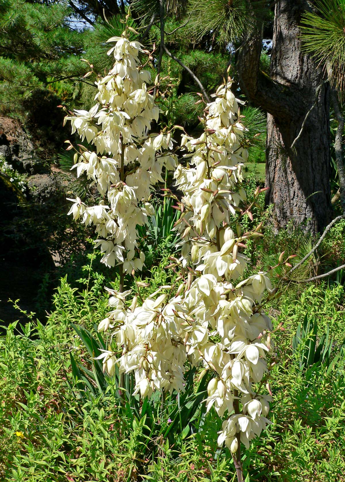 yucca filamentosa adam 39 s needle plant lust. Black Bedroom Furniture Sets. Home Design Ideas