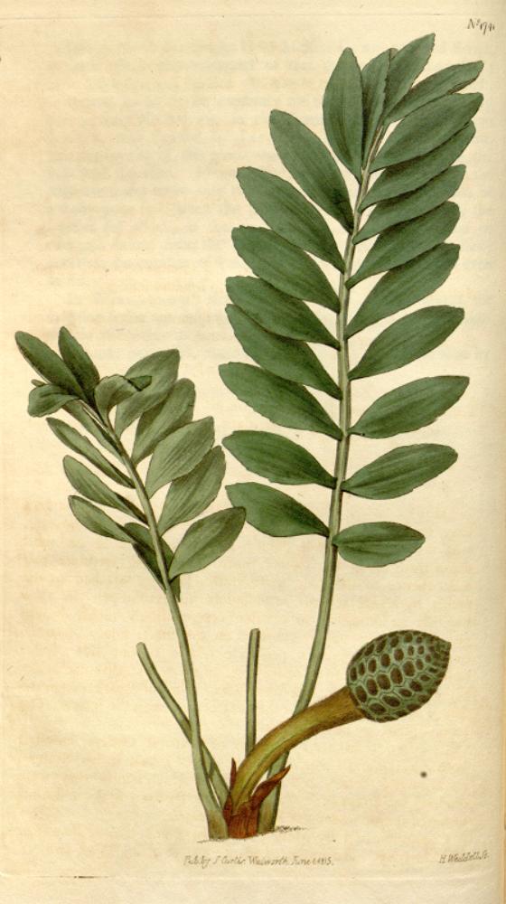 Zamia pygmaea - Wikispecies