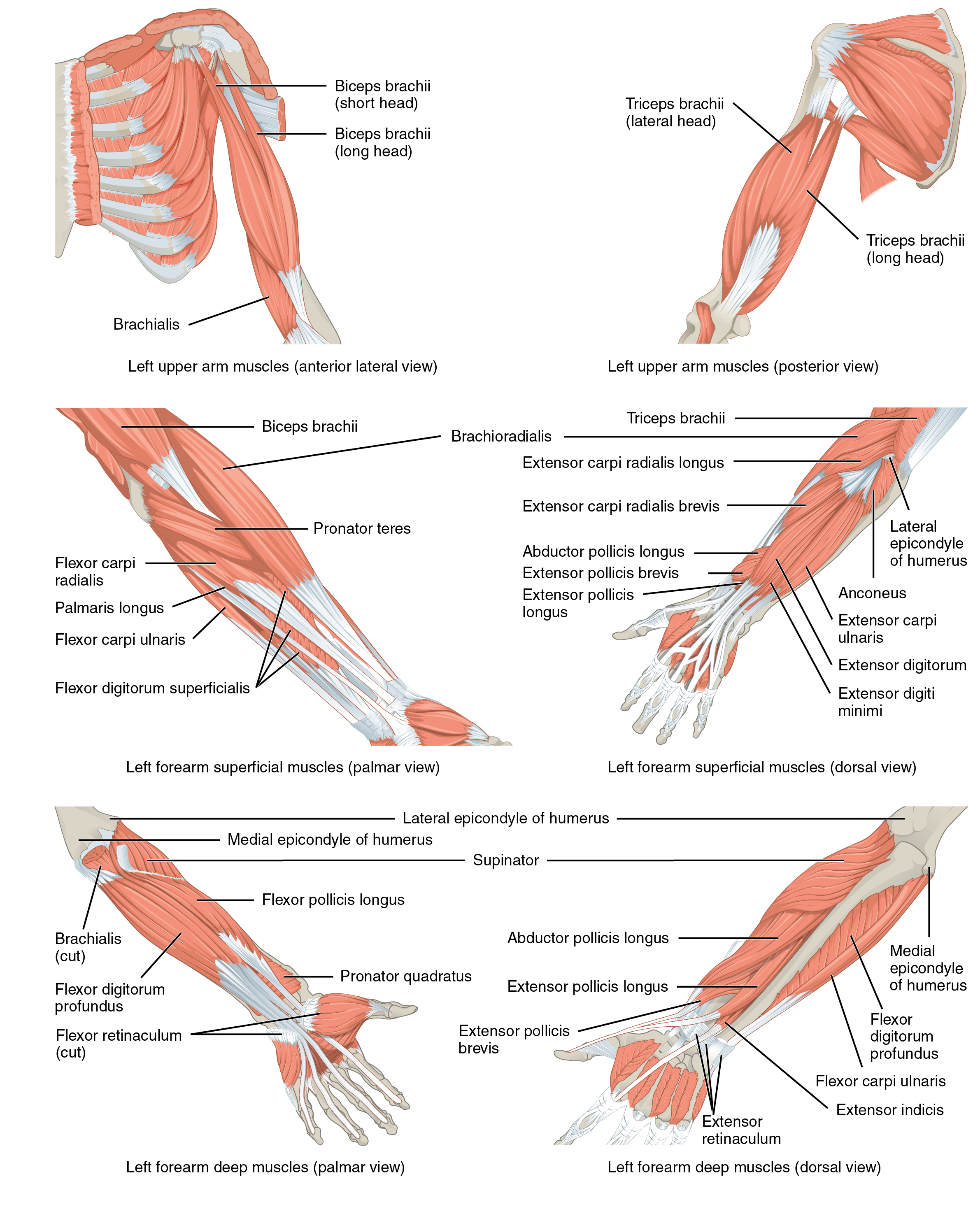 File:1120 Muscles that Move the Forearm.jpg - Wikimedia Commons