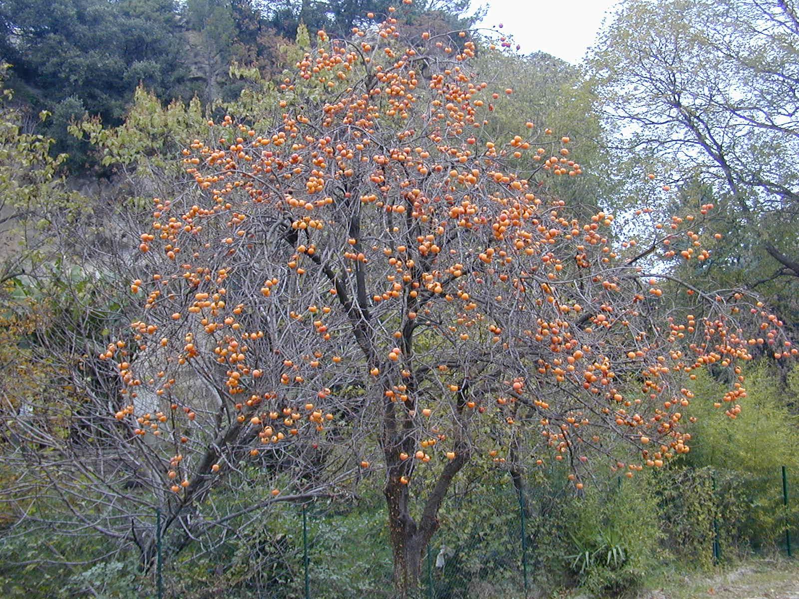 Ebenholzgew chse wikipedia for Arboles perennes en argentina