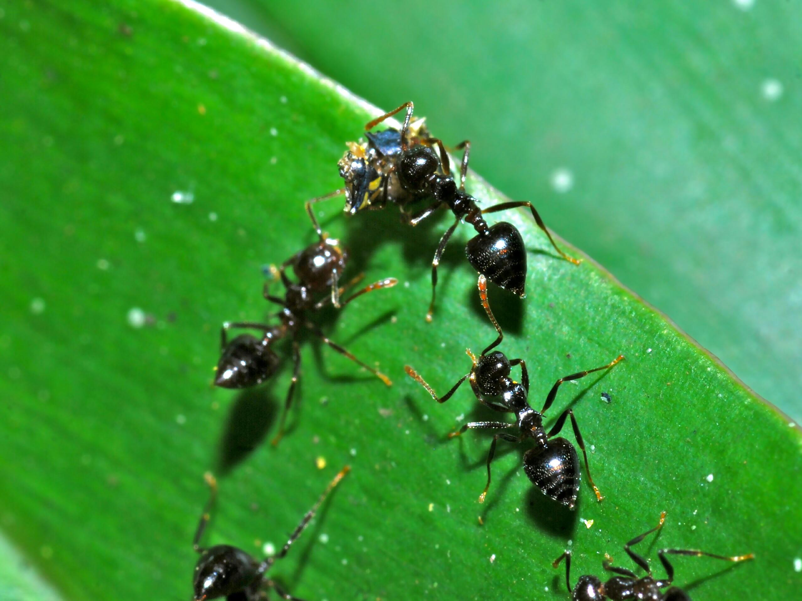 Acrobat_Ants_%28Crematogaster_sp.%29_%28