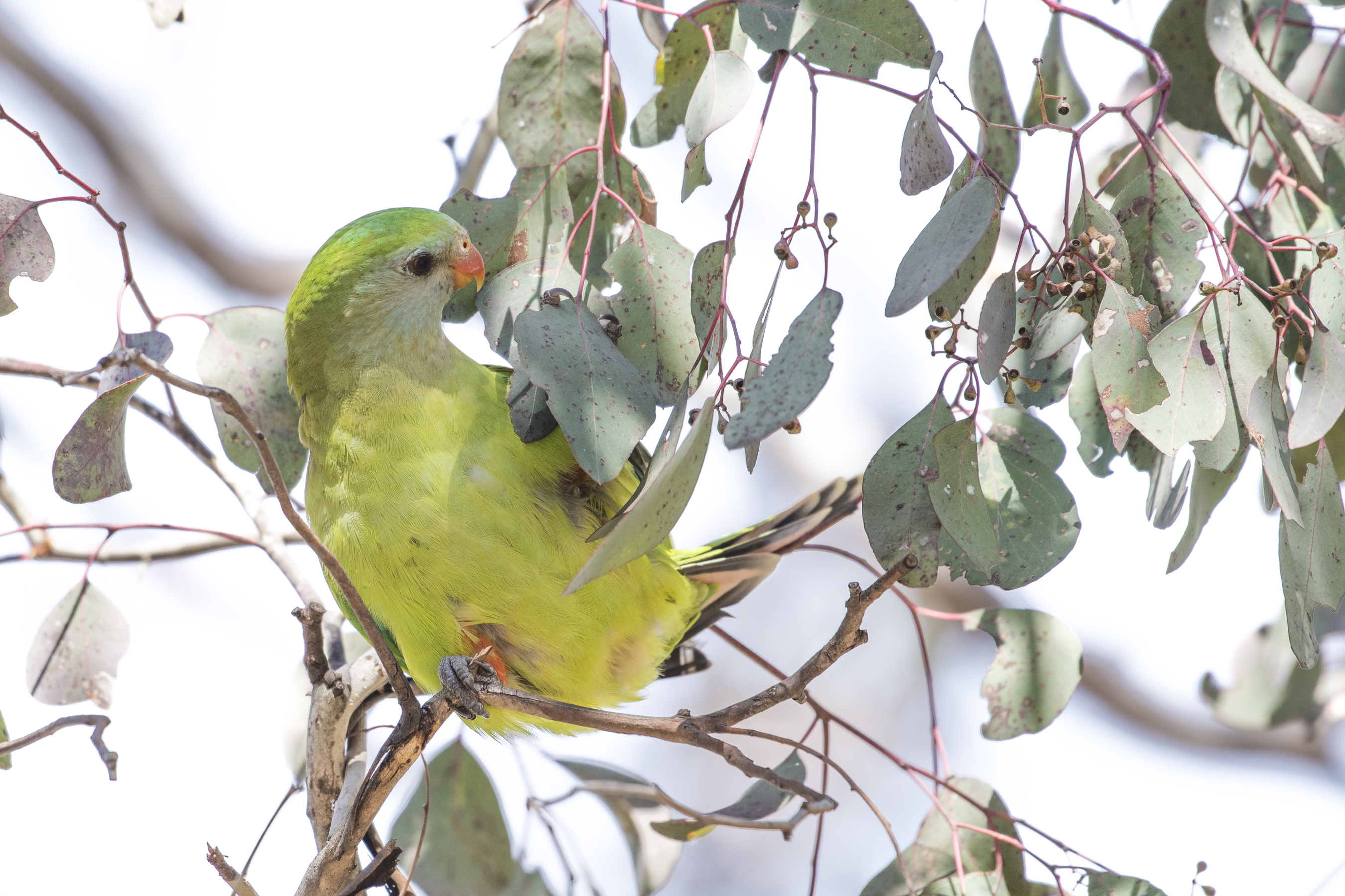 superb parrot wikiwand