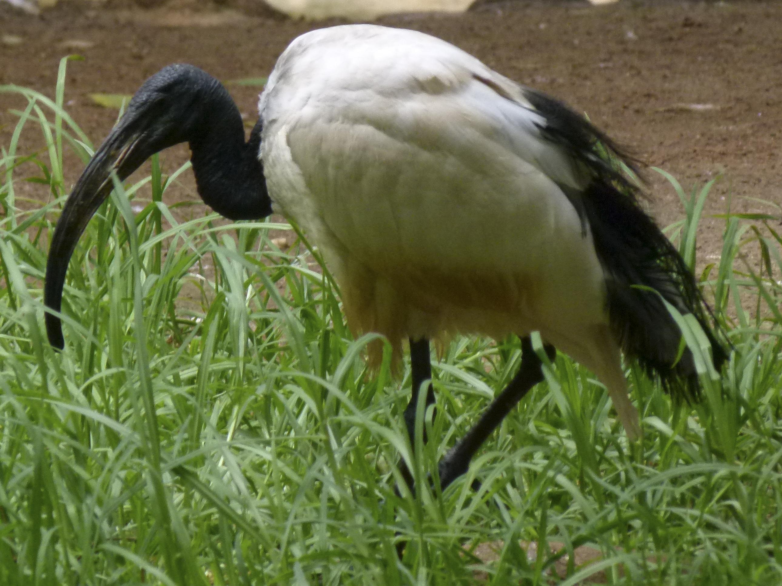 """Résultat de recherche d'images pour """"ibis sacré"""""""