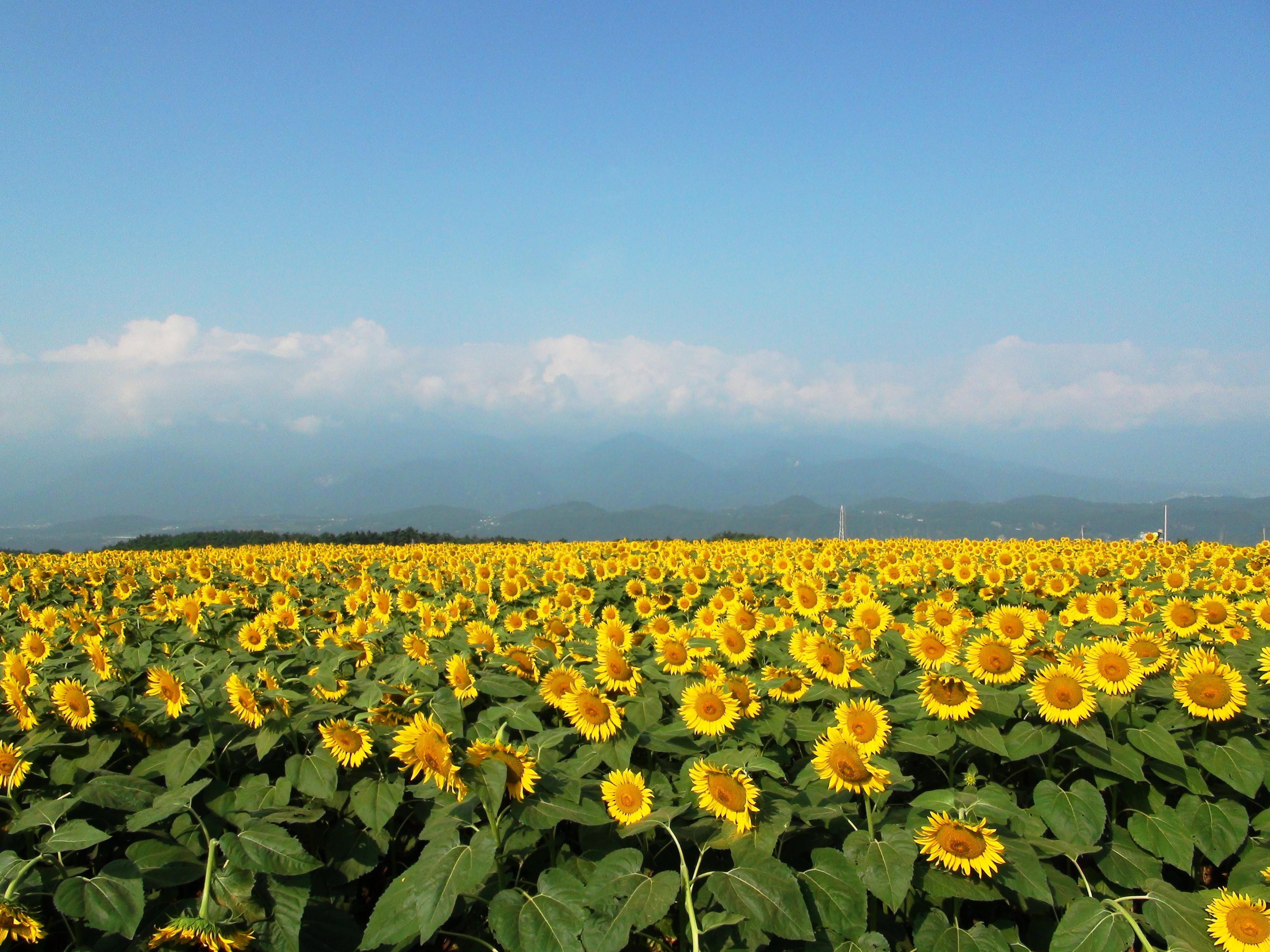 File:Akeno village sunflower field.JPG - Wikimedia Commons