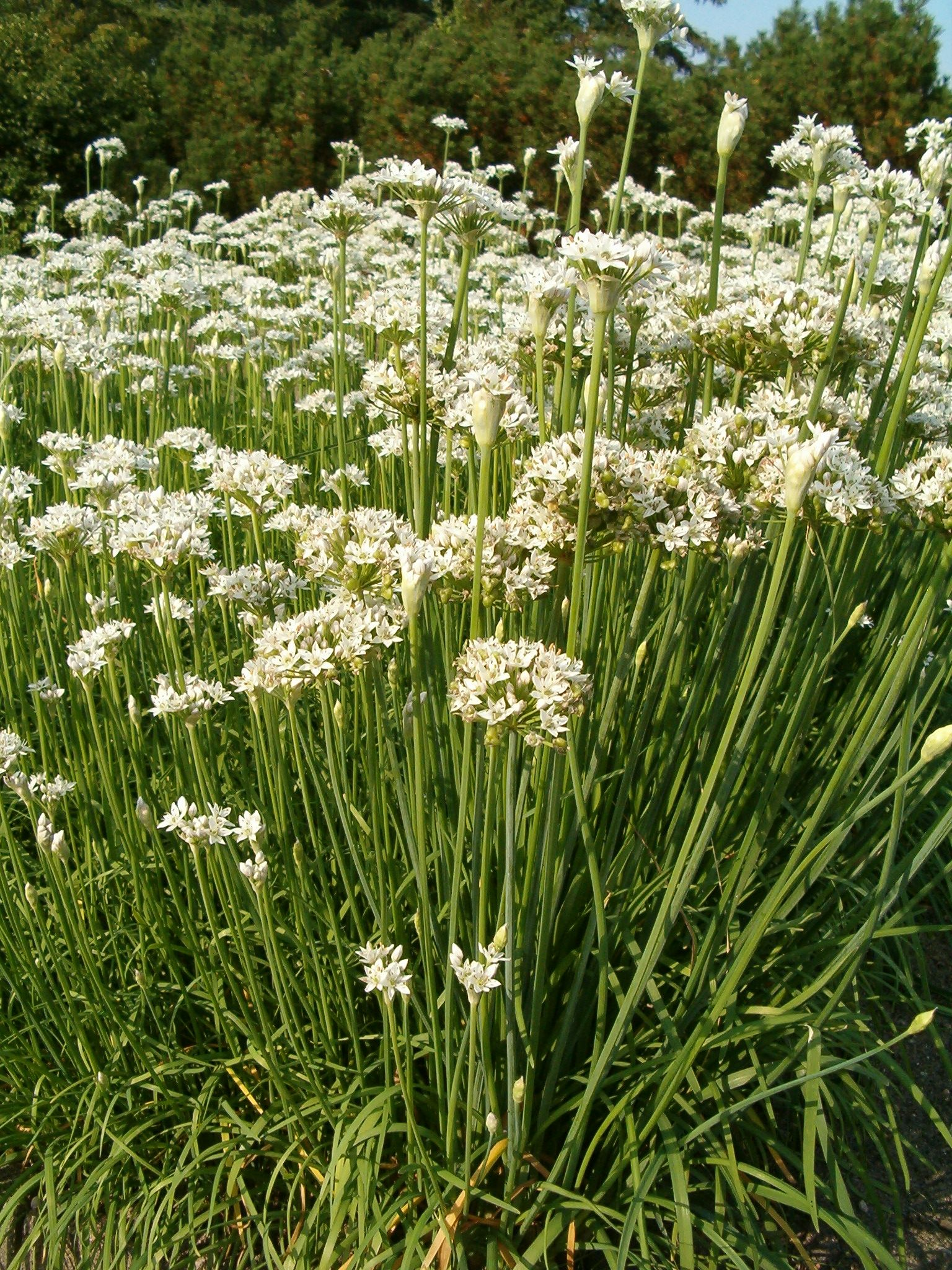 garlic chives allium tuberosum similar in appearance to regular chives ...