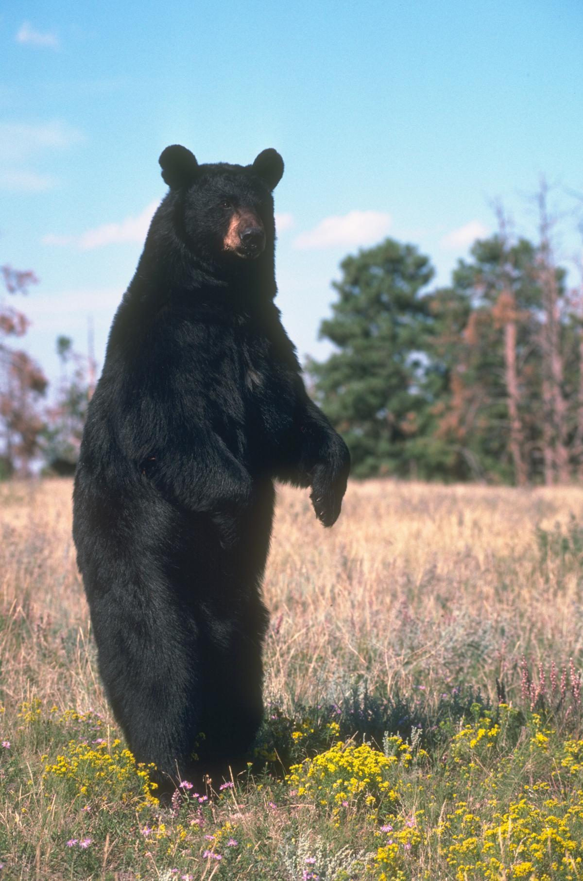 American_black_bear_%2819647087094%29.jpg