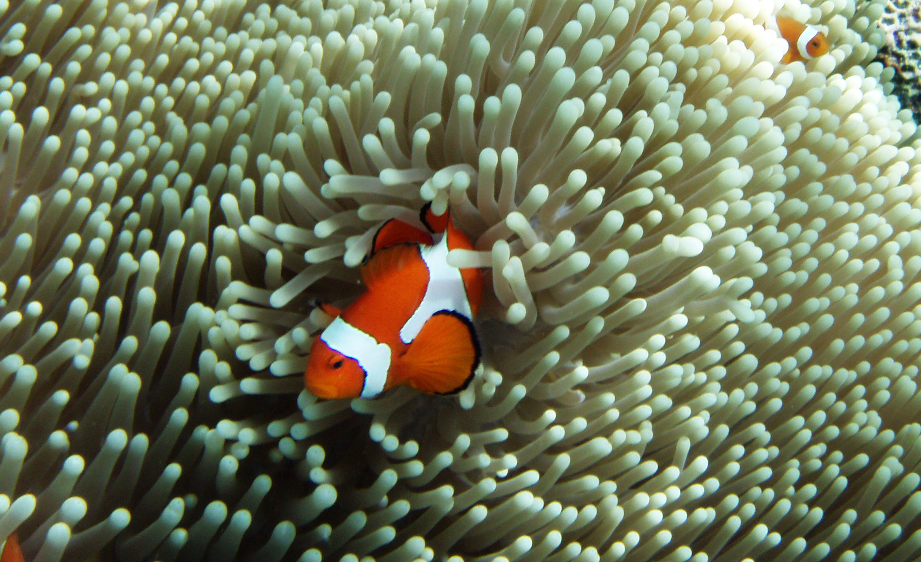 Amphiprion ocellaris at Raja Ampat