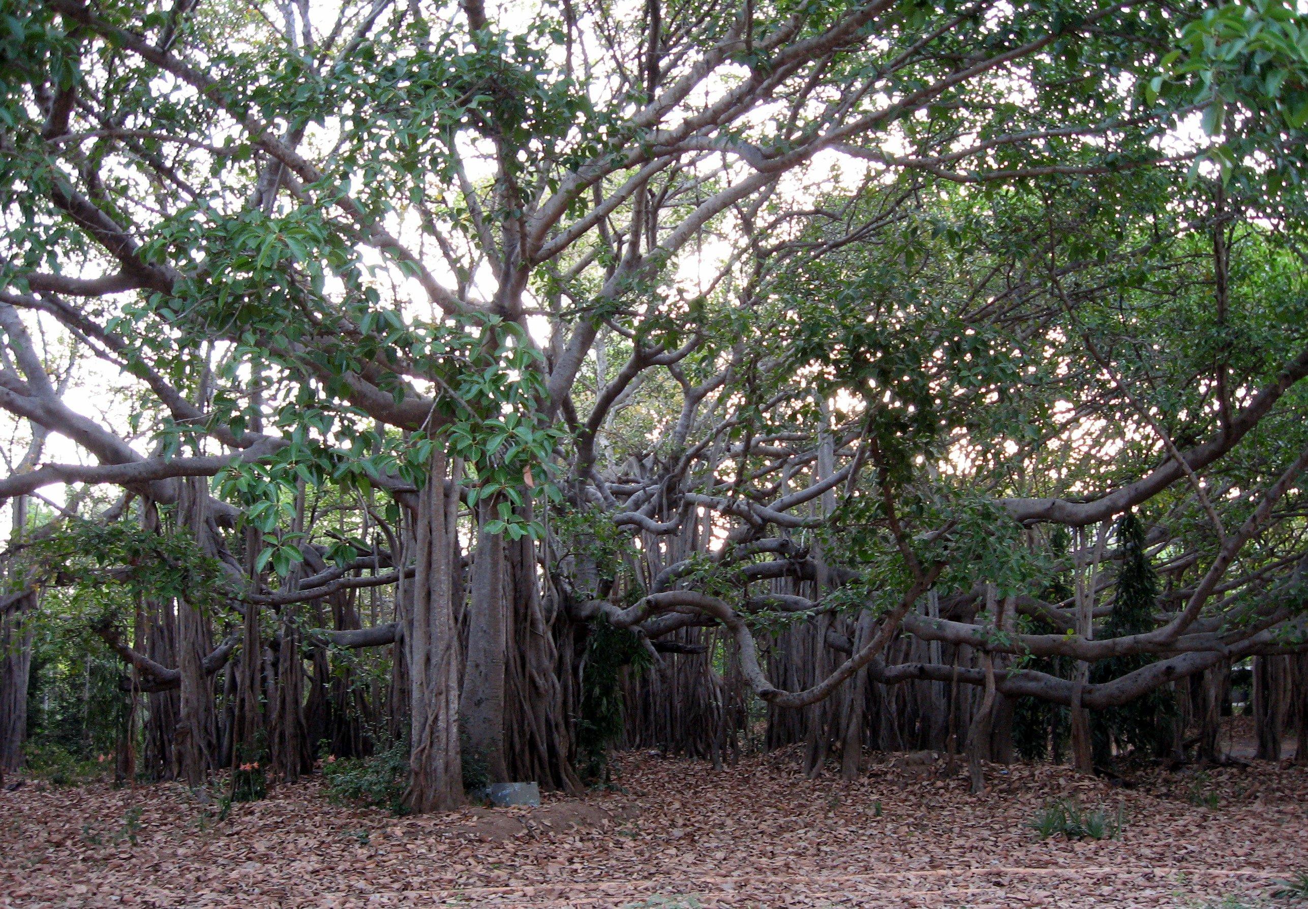IIT Madras Wikipedia: File:Banyan Tree At IITMadras1.JPG