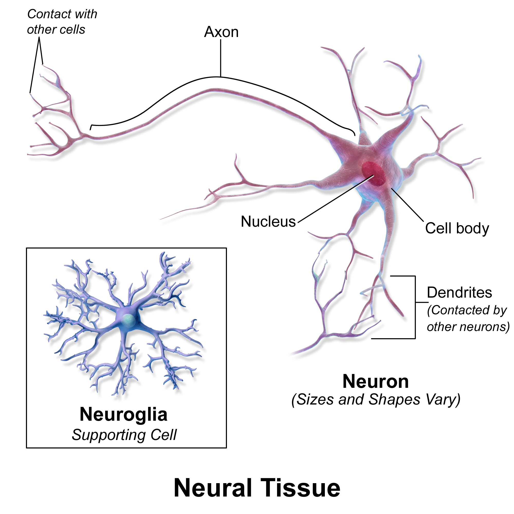 neural tissue Central nervous system (cns) – the cns consists of the brain and the spinal cord the cns integrates, processes.