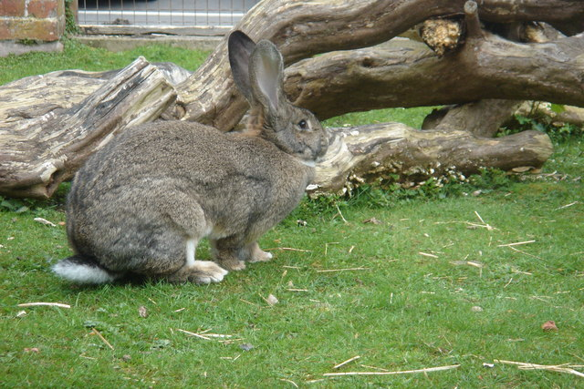 British Giant rabbit - geograph.org.uk - 163223