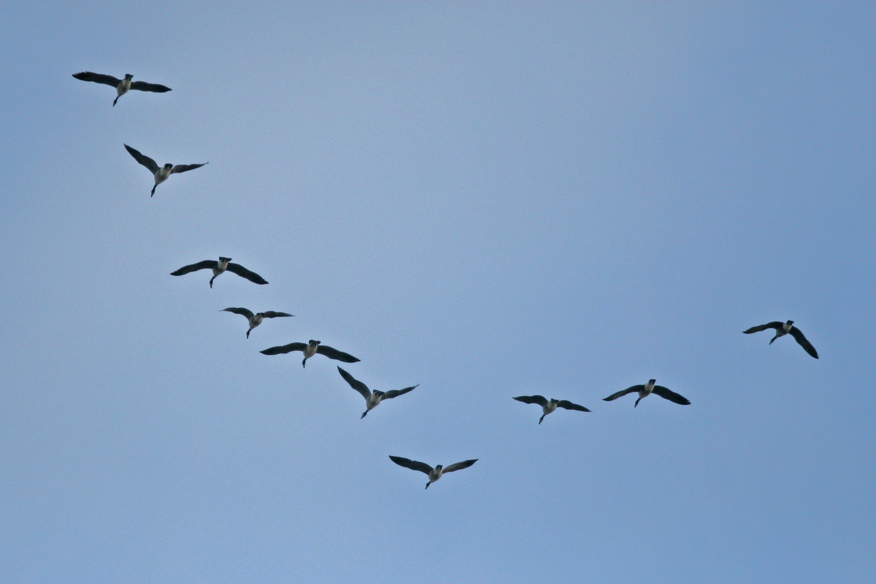 Www ducks ca resource general wetland geese html migrate