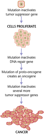 Cancers are caused by a series of mutations. Each mutation alters the behavior of the cell somewhat. Cancer requires multiple mutations from NIHen.png