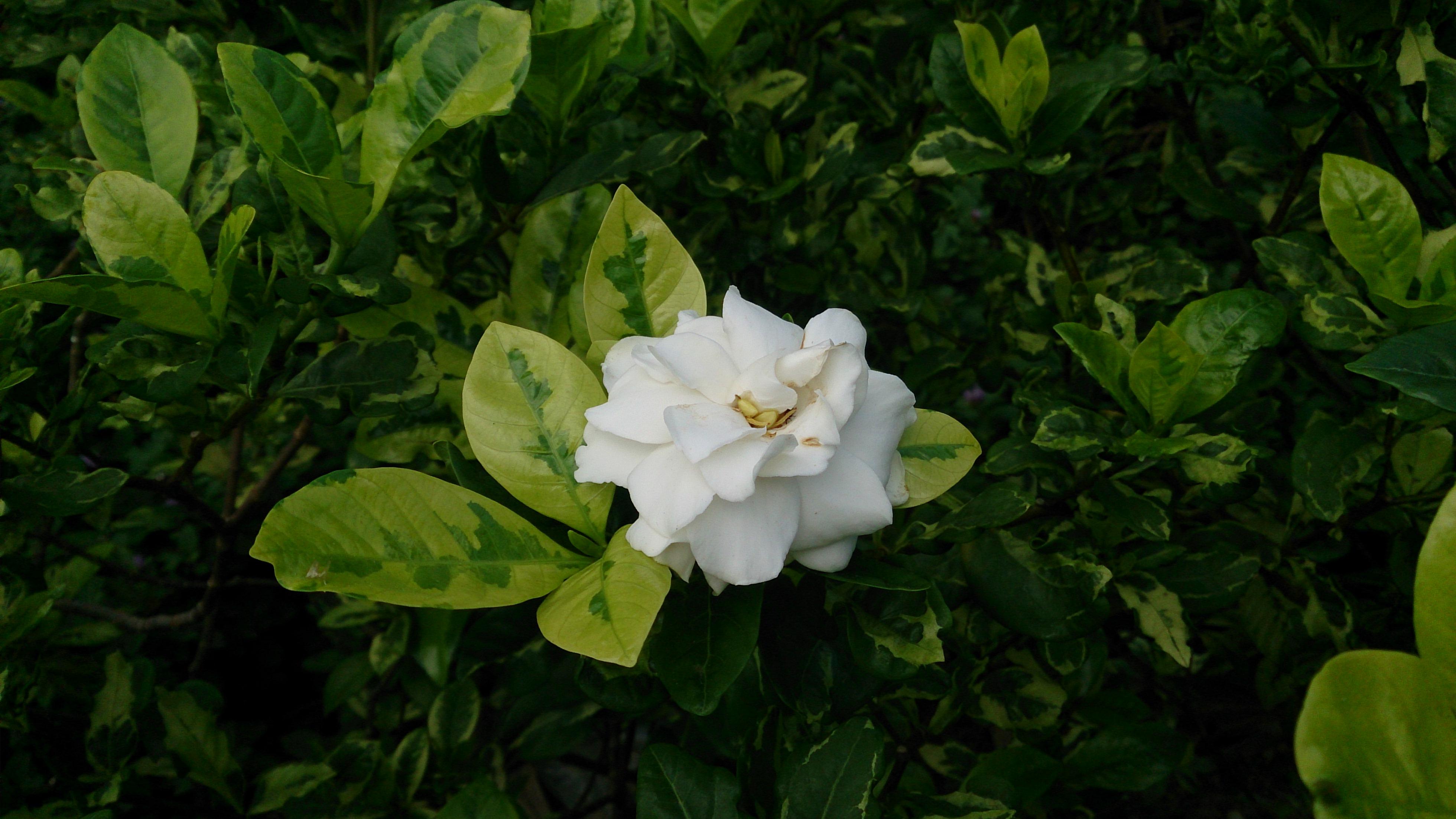 File Cape Jasmine Gardenia Jasminoides Variegata Jpg Wikimedia