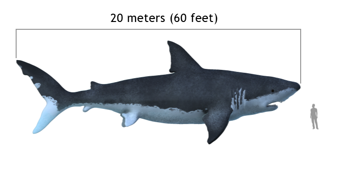 Carcharodon megalodon size compasison with man