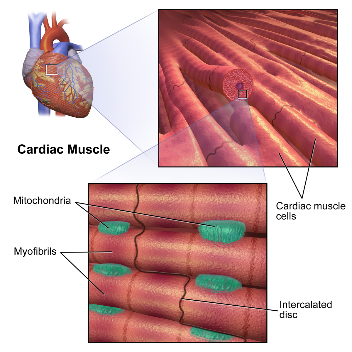 heart and cardiac muscle essay Cardiac muscle the heart's role in producing the pressure gradient by which the body's tissues are perfused with blood means that cardiac muscle is active from.