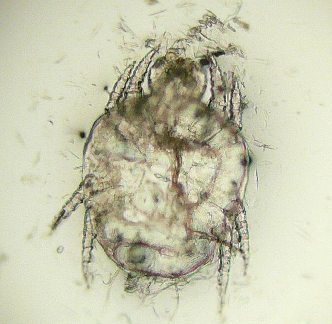 Cheyletiella - Wikispecies