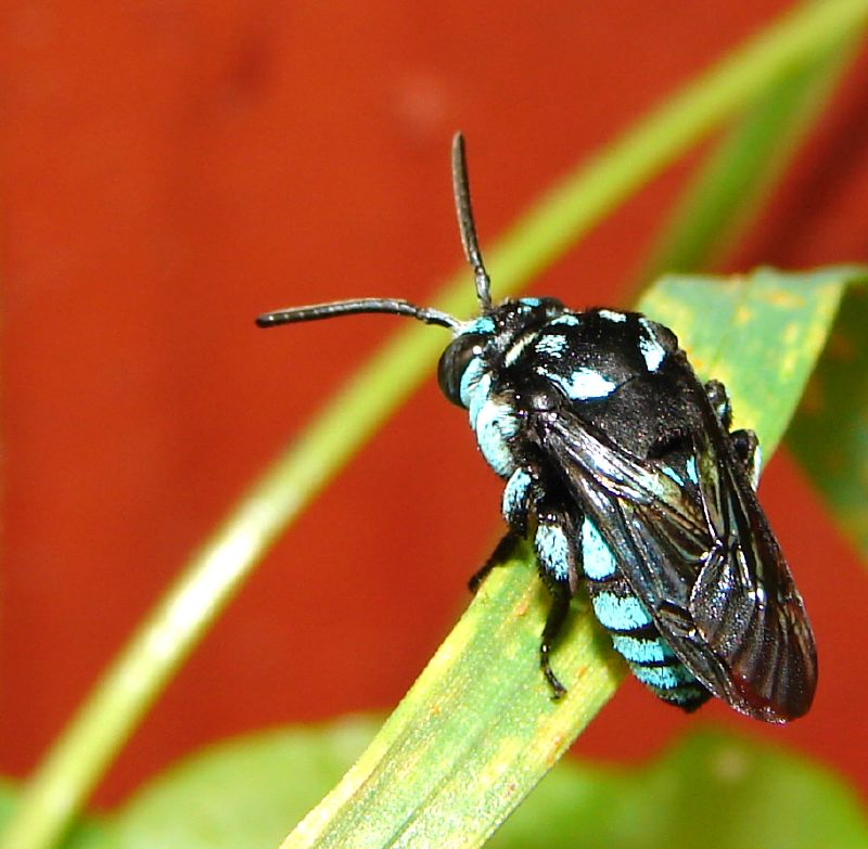 Black Flower Wasp From Australia: Wikipedia